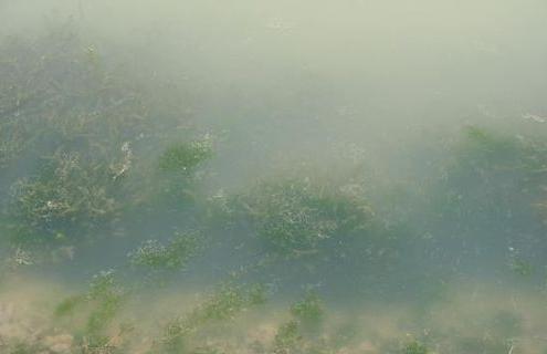藍藻2.png